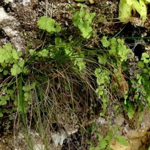- Carex brachystachys Schrank