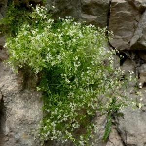Photographie n°2246199 du taxon Galium anisophyllon Vill. [1779]
