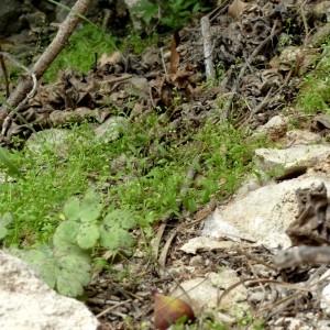 Photographie n°2246212 du taxon Hornungia procumbens var. pauciflorus (W.D.J.Koch) B.Bock [2013]