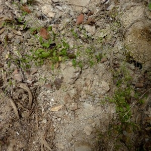 Photographie n°2246219 du taxon Hornungia procumbens var. pauciflorus (W.D.J.Koch) B.Bock [2013]