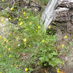 Lapsana communis subsp. intermedia (M.Bieb.) Hayek (Lampsane intermédiaire)