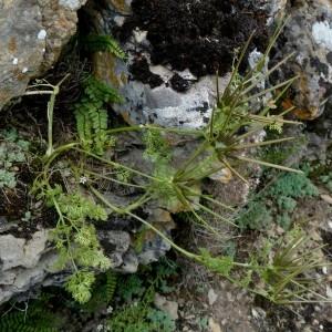 Photographie n°2246300 du taxon Scandix pecten-veneris subsp. pecten-veneris