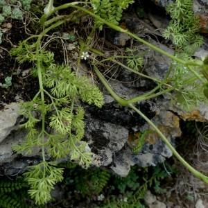 Photographie n°2246301 du taxon Scandix pecten-veneris subsp. pecten-veneris