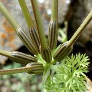 - Scandix pecten-veneris subsp. pecten-veneris