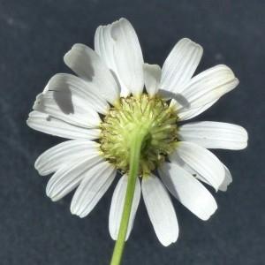 Photographie n°2246363 du taxon Matricaria inodora L. [1755]