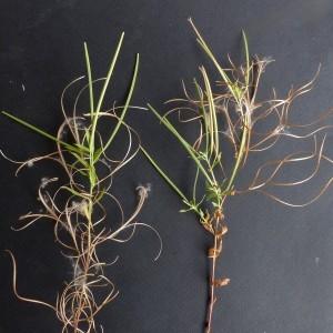 Photographie n°2246429 du taxon Epilobium tetragonum subsp. tetragonum