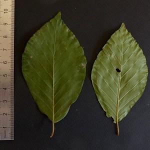 Photographie n°2246738 du taxon Fagus sylvatica L.