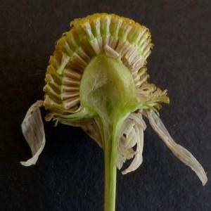 Photographie n°2246751 du taxon Matricaria inodora L. [1755]