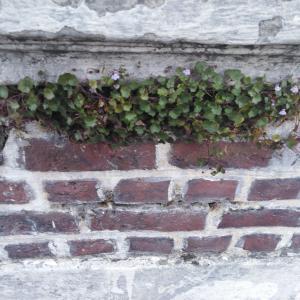 Photographie n°2246777 du taxon Cymbalaire des murailles