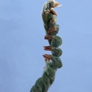 Photographie n°2246785 du taxon Spiranthes spiralis (L.) Chevall. [1827]