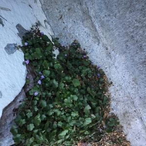 Photographie n°2246800 du taxon Cymbalaire des murailles