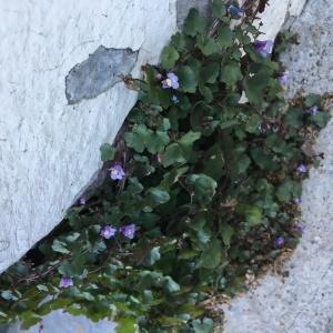 Photographie n°2246803 du taxon Cymbalaire des murailles