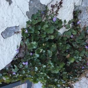 Photographie n°2246804 du taxon Cymbalaire des murailles