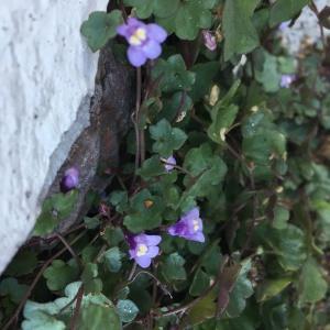 Photographie n°2246805 du taxon Cymbalaire des murailles