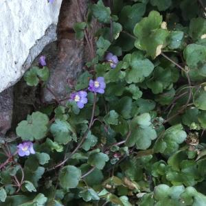 Photographie n°2246806 du taxon Cymbalaire des murailles