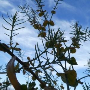 Photographie n°2246865 du taxon Euphorbia serrata L. [1753]