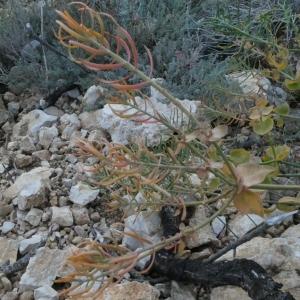 Photographie n°2246868 du taxon Euphorbia serrata L. [1753]