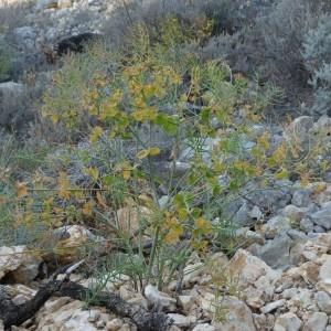 Photographie n°2246869 du taxon Euphorbia serrata L. [1753]