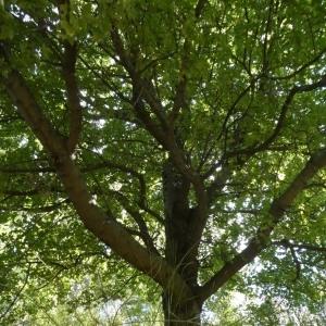 Photographie n°2246874 du taxon Acer monspessulanum L. [1753]