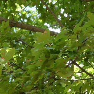 Photographie n°2246877 du taxon Acer monspessulanum L. [1753]