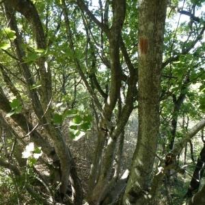 Photographie n°2246890 du taxon Acer pseudoplatanus L.