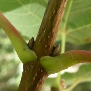 Photographie n°2246891 du taxon Acer pseudoplatanus L.