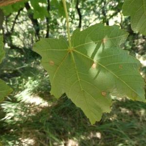 Photographie n°2246892 du taxon Acer pseudoplatanus L.