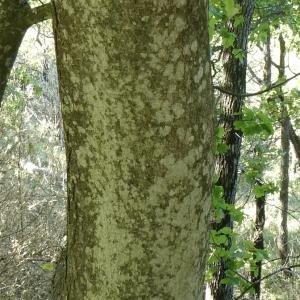 Photographie n°2246894 du taxon Acer pseudoplatanus L.