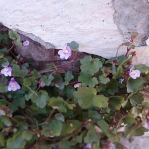 Photographie n°2246902 du taxon Cymbalaire des murailles