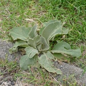 Photographie n°2246943 du taxon Verbascum thapsus L.