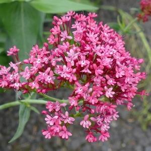 Photographie n°2246954 du taxon Centranthe lilas-d'Espagne