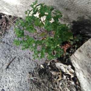 Photographie n°2247039 du taxon Euphorbia peplus L. [1753]