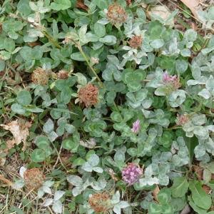 Photographie n°2247046 du taxon Trifolium pratense L. [1753]
