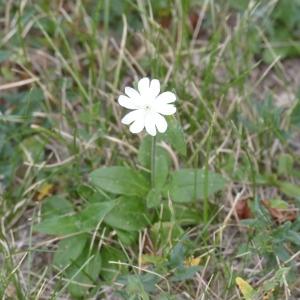 Photographie n°2247048 du taxon Silène compagnon-blanc