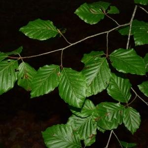 Photographie n°2247055 du taxon Fagus sylvatica L.