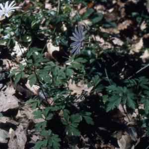 Photographie n°2247139 du taxon Anemone apennina L. [1753]