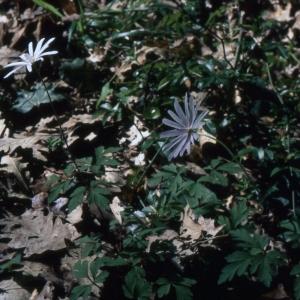 Photographie n°2247140 du taxon Anemone apennina L. [1753]