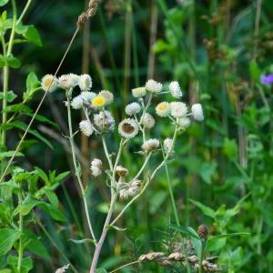 Photographie n°2247446 du taxon Helichrysum foetidum (L.) Moench [1794]