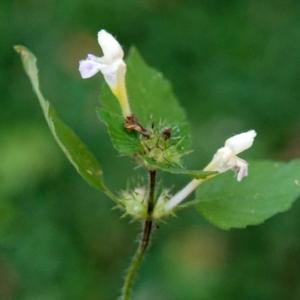 Photographie n°2247587 du taxon Galeopsis tetrahit L.