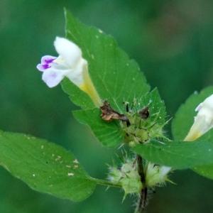 Photographie n°2247588 du taxon Galeopsis tetrahit L.