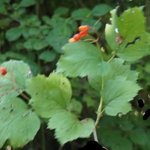 Photographie n°2247605 du taxon Viburnum opulus L. [1753]