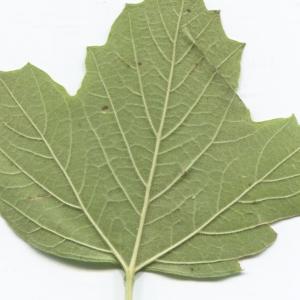 Photographie n°2247622 du taxon Viburnum opulus L. [1753]