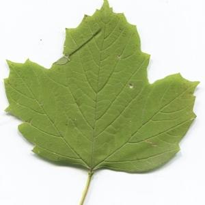 Photographie n°2247623 du taxon Viburnum opulus L. [1753]