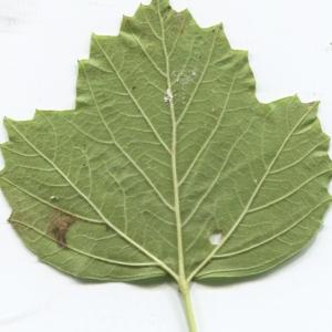 Photographie n°2247624 du taxon Viburnum opulus L. [1753]