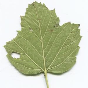 Photographie n°2247625 du taxon Viburnum opulus L. [1753]