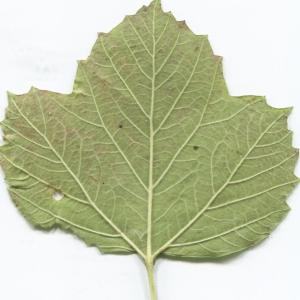 Photographie n°2247626 du taxon Viburnum opulus L. [1753]