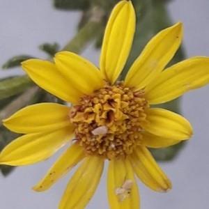 Photographie n°2247702 du taxon Jacobaea vulgaris Gaertn. [1791]
