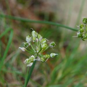 Photographie n°2247739 du taxon Allium ericetorum Thore [1803]