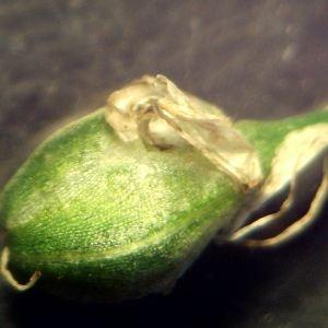 Photographie n°2247741 du taxon Allium ericetorum Thore [1803]