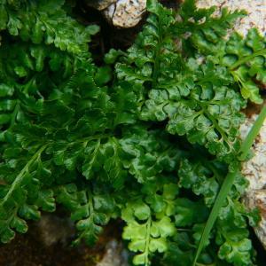Photographie n°2247745 du taxon Asplenium adiantum-nigrum L.